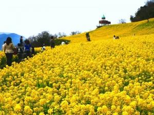 翠波高原 菜の花まつり